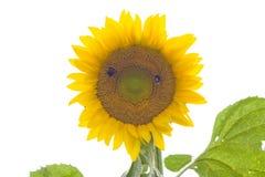 Um sunnflower no fundo branco fotografia de stock