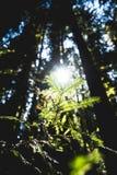 Um sunstar na floresta da sequoia vermelha de Montgomery Woods fotografia de stock