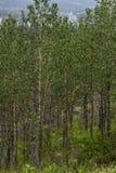 Um suporte de árvores de vidoeiro Fotos de Stock Royalty Free