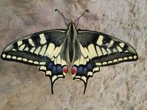 Um suporte grande da borboleta do tigre na cachoeira Fotografia de Stock Royalty Free