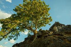 Um suporte grande só da árvore no monte na praia de Batu Termanu Fotos de Stock Royalty Free