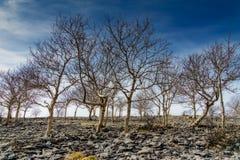 Um suporte pequeno de árvores de cinza no escuteiro Scar Imagens de Stock Royalty Free
