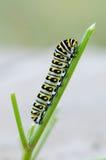 Swallowtail preto Caterpillar Fotografia de Stock Royalty Free