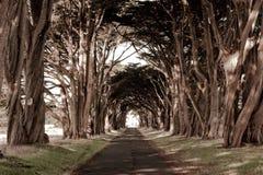 Um túnel gosta de árvores do af da fileira Fotos de Stock