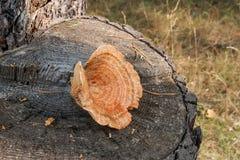 Um tampão do leite do açafrão no fundo de madeira natural Fotos de Stock