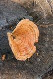 Um tampão do leite do açafrão no fundo de madeira natural Fotografia de Stock