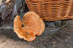 Um tampão do leite do açafrão no fundo de madeira natural Foto de Stock Royalty Free