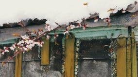 Um tampão enorme da neve no telhado de uma casa do vintage nos ramos de florescência da mola da agitação do vento de árvores de m video estoque