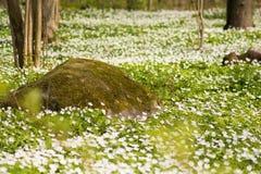 Um tapete das flores brancas com pedra pitoresca Foto de Stock