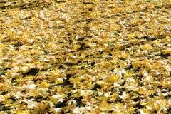 Um tapete das folhas de bordo amarelas do outono no gramado do parque fotografia de stock