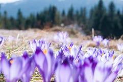 Um tapete dos açafrões na inclinação da montanha de Turbacz Imagens de Stock