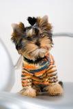 Um terrier Fotos de Stock Royalty Free