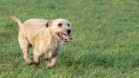 Um terrier novo, brincalhão de Jack Russell do cão corre em um prado no outono fotografia de stock royalty free