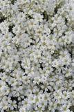 Um teste padrão das flores brancas Imagens de Stock