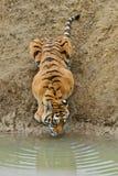 Um tigre Foto de Stock
