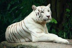 Um tigre branco que toma o descanso Imagens de Stock Royalty Free