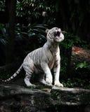 Um tigre branco rujir Foto de Stock Royalty Free