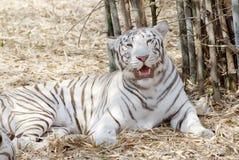 Um tigre branco, sentando-se na m?scara imagens de stock