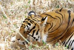 Um tigre de Bengal real, dormindo na grama foto de stock royalty free