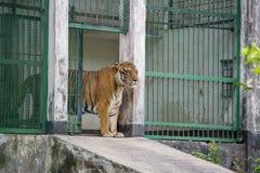 Um tigre de Bengal real no jardim zoológico de Dhaka toma o banho para bater o calor quente do verão Fotos de Stock Royalty Free