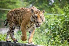Um tigre de Bengal real no jardim zoológico de Dhaka toma o banho para bater o calor quente do verão Fotografia de Stock