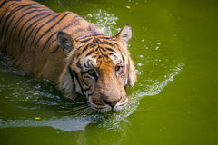 Um tigre de Bengal real no jardim zoológico de Dhaka toma o banho para bater o calor quente do verão Imagens de Stock