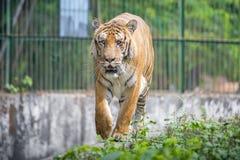 Um tigre de Bengal real no jardim zoológico de Dhaka toma o banho para bater o calor quente do verão Fotografia de Stock Royalty Free