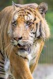 Um tigre de Bengal real no jardim zoológico de Dhaka toma o banho para bater o calor quente do verão Imagem de Stock