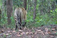 Um tigre de Bengal real que vagueia desorientadamente foto de stock royalty free