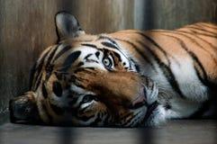 Um tigre em uma gaiola Fotografia de Stock Royalty Free