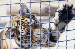Um tigre joga com uma pena da avestruz em um jardim zoológico foto de stock royalty free