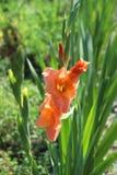 Um tipo de flor bonito no verde deixa flores no jardim Flor do verão Foto de Stock Royalty Free