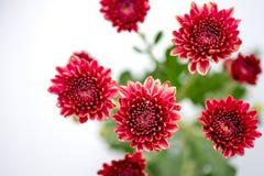 Um tipo de flores alaranjadas vermelhas do crisântemo no fundo branco e cinzento fotografia de stock
