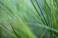 Um tipo de grama grosseira longa perto do campo de almofada Malásia Fotos de Stock Royalty Free