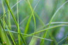 Um tipo de grama grosseira longa perto do campo de almofada Malásia Fotografia de Stock Royalty Free