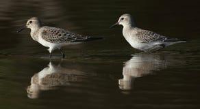 Um tiro bonito de dois pássaros do calidris em uma lagoa com reflexões imagens de stock royalty free