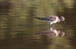 Um tiro bonito de pássaros de um calidris em uma lagoa com reflexões imagens de stock