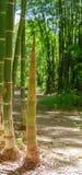 Um tiro de bambu Fotografia de Stock Royalty Free