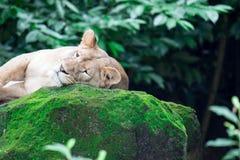 Um tiro do close up de um leão ou de uma leoa fêmea ao descansar em umas FO imagem de stock royalty free