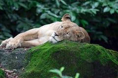 Um tiro do close up de um leão ou de uma leoa fêmea ao descansar em umas FO foto de stock royalty free