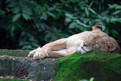 Um tiro do close up de um leão ou de uma leoa fêmea ao descansar em umas FO fotos de stock