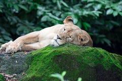Um tiro do close up de um leão ou de uma leoa fêmea ao descansar em umas FO fotografia de stock royalty free