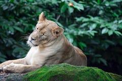 Um tiro do close up de um leão ou de uma leoa fêmea ao descansar em umas FO foto de stock