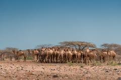 Um tiro ensolarado de um rebanho dos camelos sob um céu azul sem nuvens, bel foto de stock