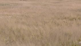 Um tiro largo bonito de um campo de trigo maduro que funde no vento vídeos de arquivo