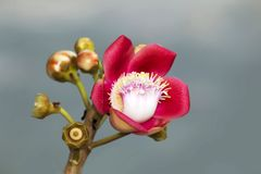 Um tiro macro bonito de uma flor do guianensis incomum de Couroupita da árvore da bala de canhão Fotografia de Stock