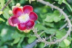 Um tiro macro bonito de uma flor do guianensis incomum de Couroupita da árvore da bala de canhão Fotografia de Stock Royalty Free