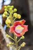 Um tiro macro bonito de uma flor do guianensis incomum de Couroupita da árvore da bala de canhão Imagens de Stock