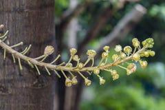 Um tiro macro bonito de uma flor do guianensis incomum de Couroupita da árvore da bala de canhão Foto de Stock