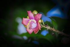 Um tiro macro bonito de uma flor do guianensis incomum de Couroupita da árvore da bala de canhão Foto de Stock Royalty Free